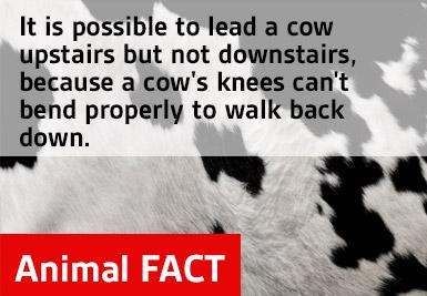 fact cow